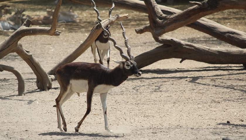 India-Wildlife-Tours-Black-Buck