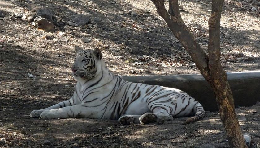 2020/01/AH-46719-White-Tigers-India-Tours.jpg