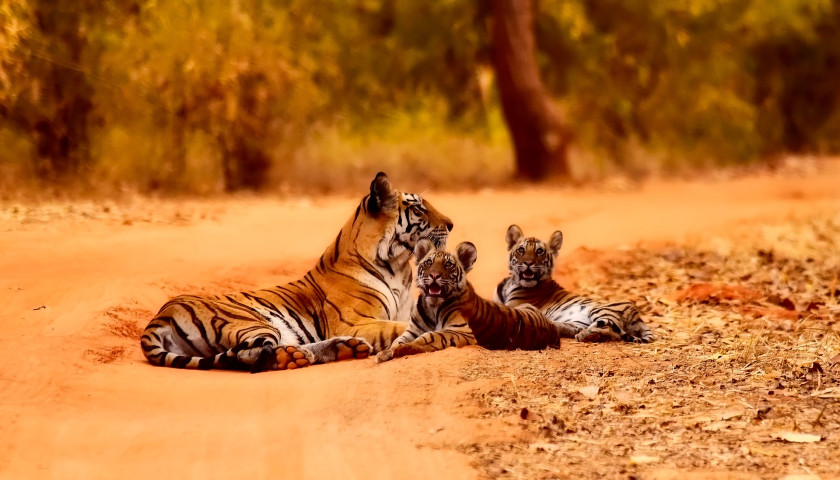 Ranthambore-Tigers-Safari