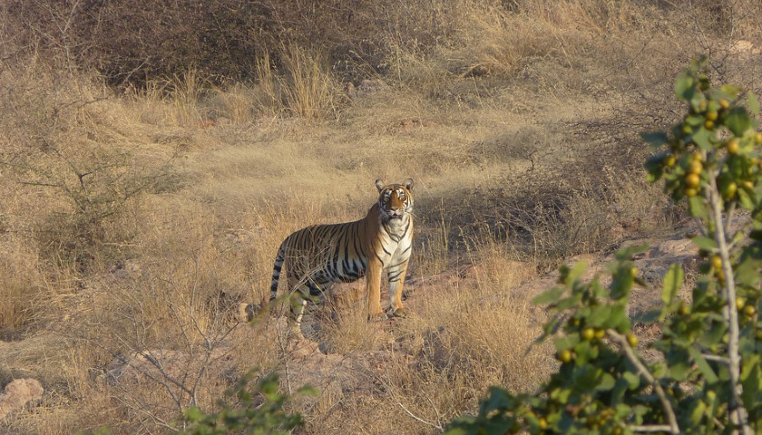 India-Tiger-Safari