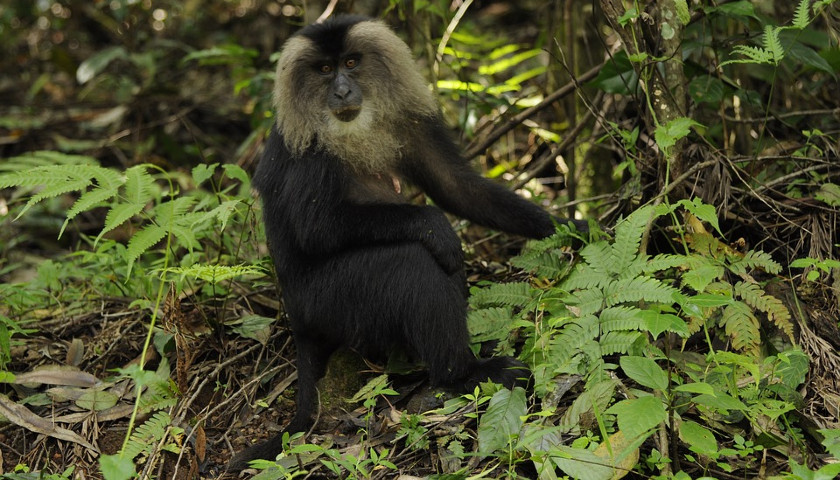 2020/04/AH-61122-Lion-Tailed-Macaque.jpg